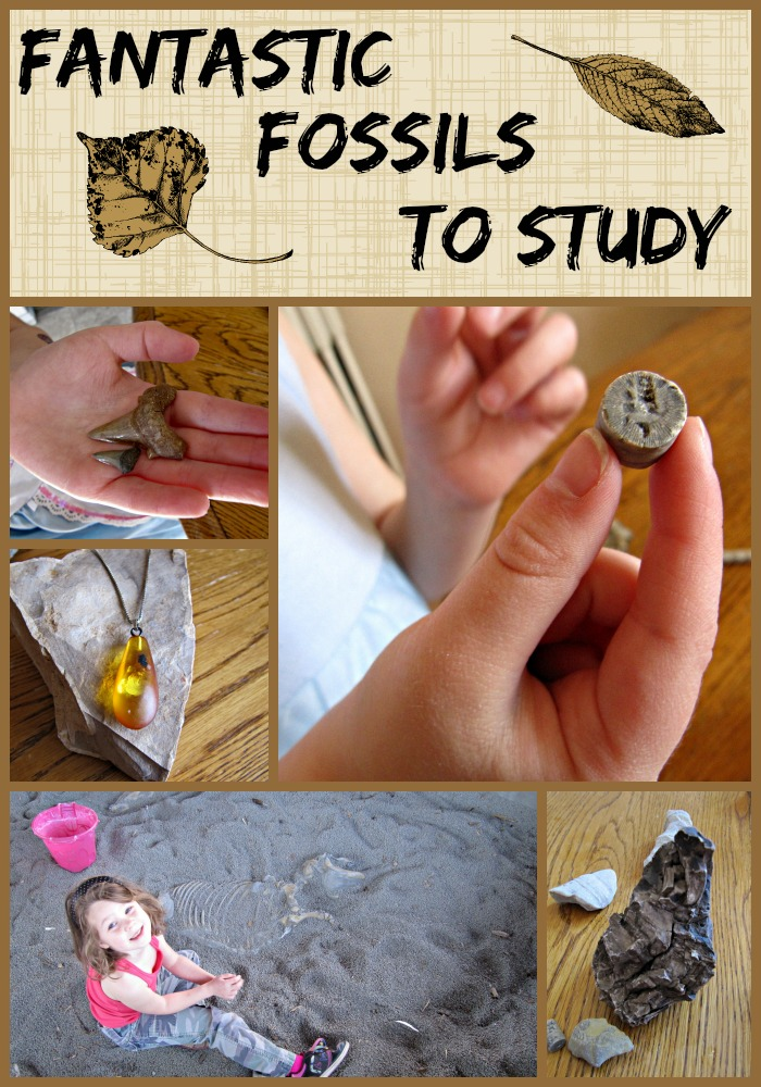 Fossils to study for homeschool